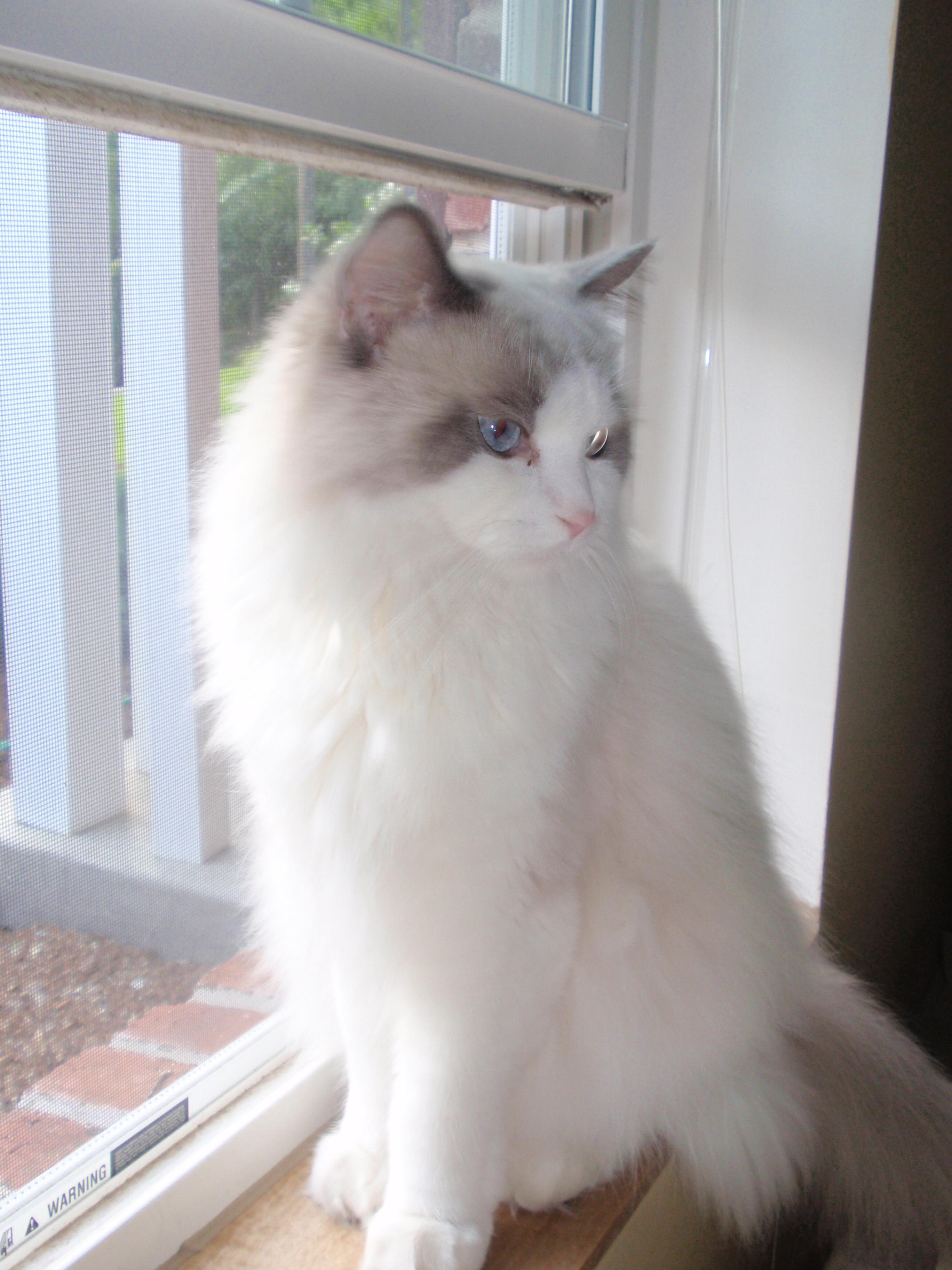Ruthie S Ragdoll Kittens